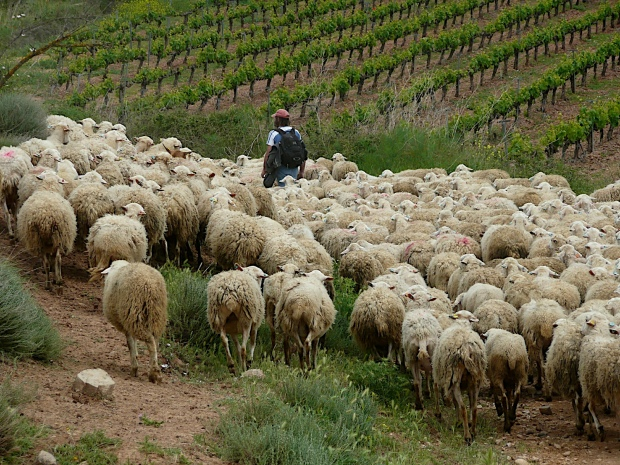 Shepherd guiding his flock